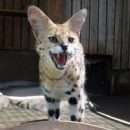 Sugoi! Hamura Zoo Plans 7 Hour Serval Cat Live-Stream on Nico Nico